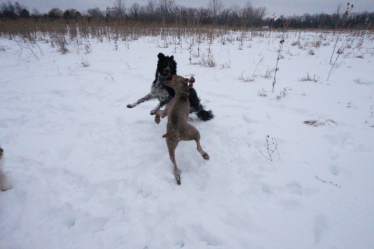 This Weimaraner is strong AND fast!  FUN!