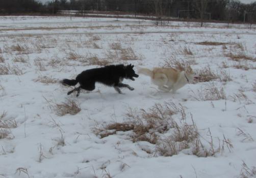 Herding a Huskie