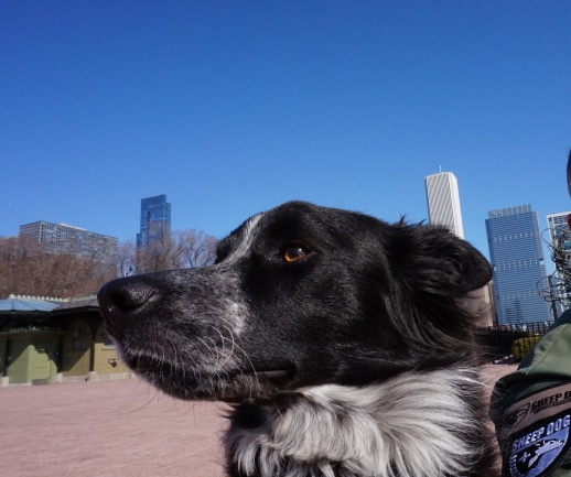 The warm sun on my black fur, the smells of the city, a stroll through Grant Park...life is good.