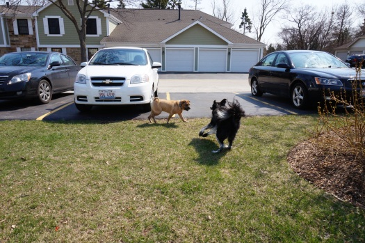 Shar Pei trying to out maneuver the Border collie...ain't happening, dude!