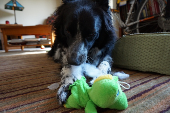All squeaky toys have their squeakers removed, usually through a small hole in the belly...surgical precision.