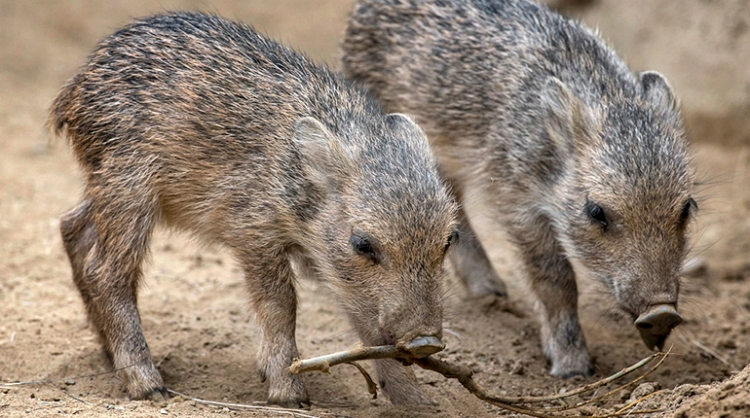 Peccary Babies Sniff New Digs